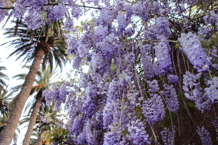 Beauty In Nature Blossom Branch City Citylife ExploreEverything Flower Fragility Freshness Going For A Walk Growth La Laguna Lilac Lilac Flower Low Angle View Nature Old Town Palm Tree Purple Santa Cruz De Tenerife SPAIN Tenerife Tenerife Island Wanderlust