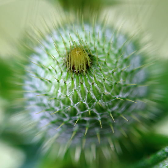 Backgrounds Bud Circle Close-up Closed Defence Defensive Eye4photography  EyeEm Best Shots EyeEm Nature Lover Flower Flower Head Green Color Minimalism Nature Nature On Your Doorstep No People On Guard Protection Soft Focus Spiked Spiky Summer Thistle Weed