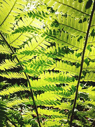 Bracken Fern Fern Green Color Full Frame No People Plant Nature Leaf Sunlight Backgrounds Plant Part Growth Outdoors High Angle View Beauty In Nature Tree Close-up Tranquility Pattern Sunny