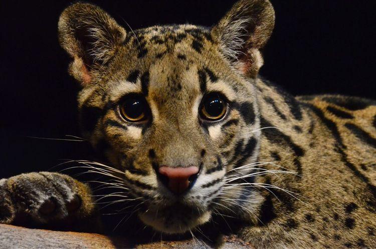 Clouded Leopard Rosamond Gifford Zoo Syracuse  NY