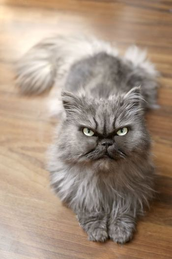 Adorable persian cat lies on floor and looking at camera.