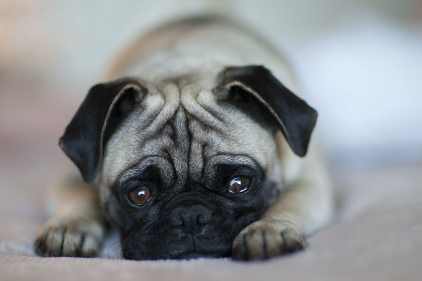 PUG Adorable Adorable Dog Animal Animal Themes Close-up Day Dog Dog❤ Domestic Animals EyEmNewHere Indoors  Looking At Camera Lovepugs Lying Down Mammal Mops Nature No People One Animal Pets Portrait Pug Puppy Welpe Young Animal
