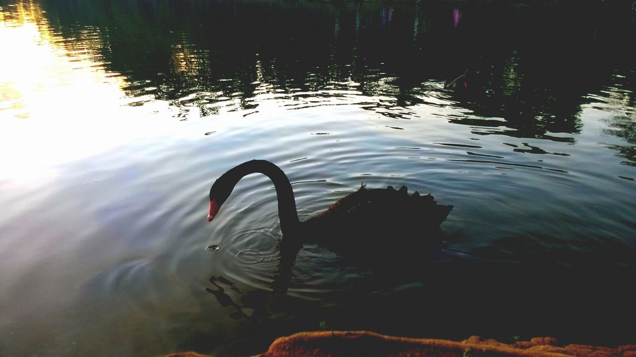 animals in the wild, one animal, water, lake, reflection, swan, animal themes, nature, no people, swimming, outdoors, animal wildlife, bird, rippled, day, beauty in nature, black swan