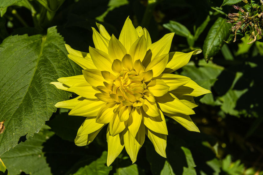 """Dahlia 'Inland Dynasty'. ADS classification - AASC. Enormous 12"""" yellow flowers. Late bloomer. Dahlias are hybrids and for best results should be grown from tubers, cuttings or transplants. http://www.digthedir Dahlia Beauty In Nature Blooming Close-up Flower Flower Head Leaf Outdoors Petal Yellow"""