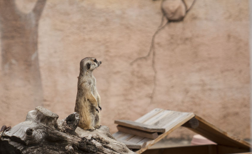 meerkat Herbivorous Mouth Open Looking Away Looking Built Structure Sitting Bird Architecture Nature Outdoors Day Focus On Foreground Mammal Wood - Material Meerkat No People One Animal Vertebrate Animal Themes Animals In The Wild Animal Wildlife Animal