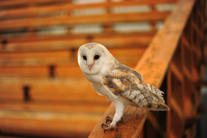 Animal Themes One Animal Animal Wildlife No People Bird Day Close-up Nature Owl Owl Eyes OwlloveOutdoors Owl Portrait. Ireland 🍀 Ireland Birds_collection Birds🐦⛅ Bird Of Prey