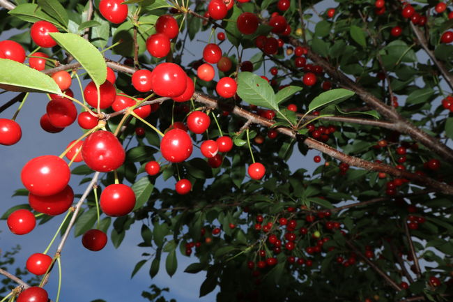Sour cherry tree. Branch Close-up Day Focus On Foreground Food Food And Drink Freshness Fruit Growth Healthy Eating Leaf Low Angle View Nature No People Outdoors Prunus Cerasus Red Rowanberry Sky Sour Cherry Sour Cherry Tree Tree
