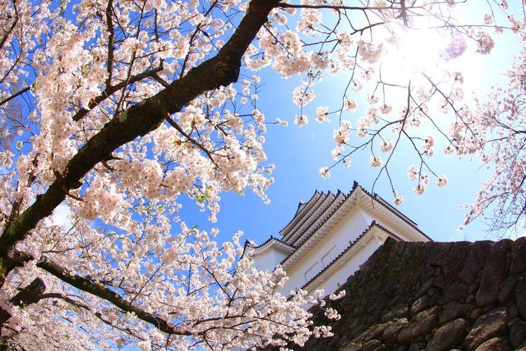 鶴ヶ城 桜 Tree Low