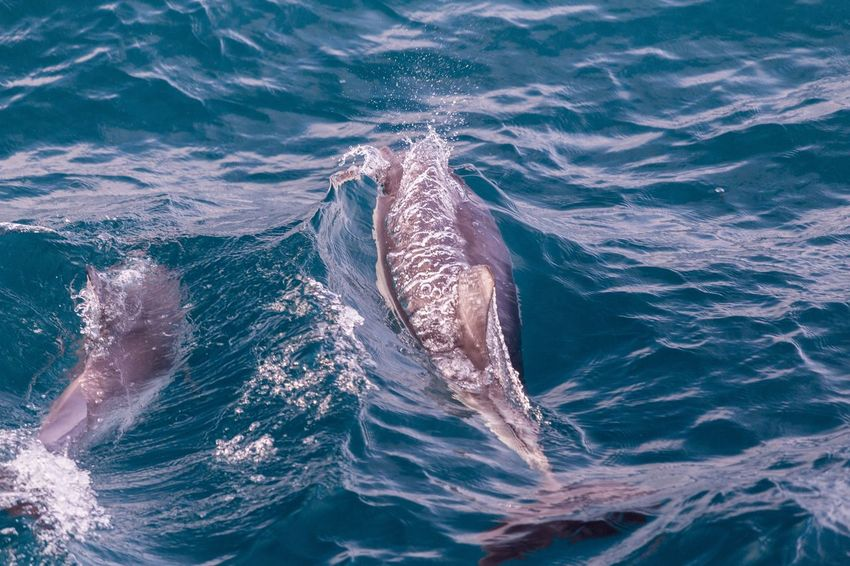 Dolphins swimming near Phillip Island Dolphin Dolphins Sea Water Underwater Sea Life Animal Marine Animal Wildlife Animals In The Wild Animal Themes Swimming Aquatic Mammal High Angle View Outdoors Nature