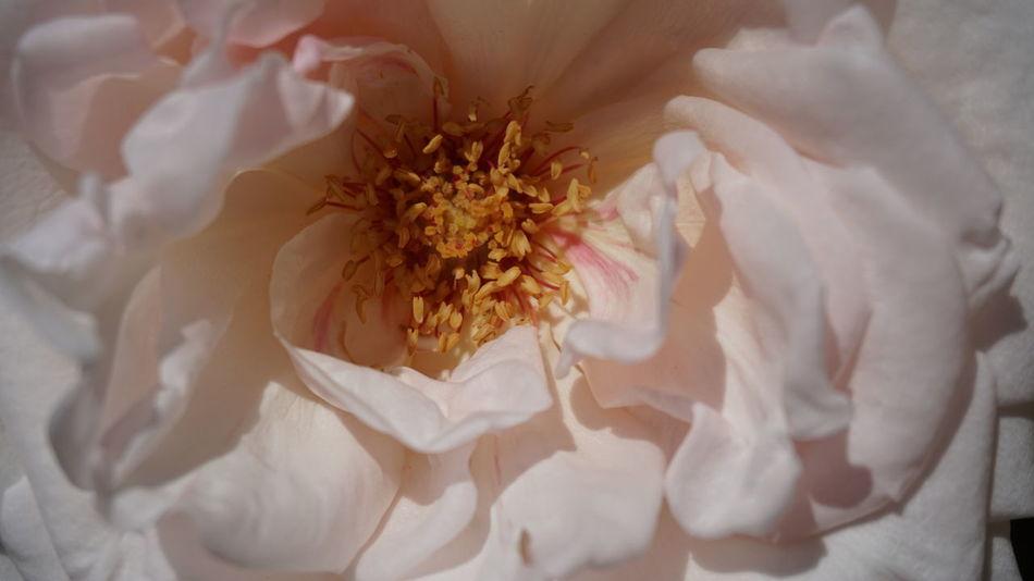 Rose🌹 Pink Rose Plant Close-up Flower Close-up Flower Head Pollen Petal