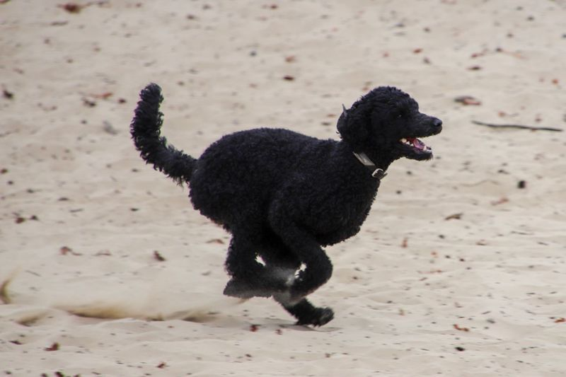 Running Poodle EyeEmBestPics EyeEm Best Shots - Nature Poodle Animal One Animal Animal Themes Mammal Pets Domestic Domestic Animals Black Color Canine Dog Sand Running