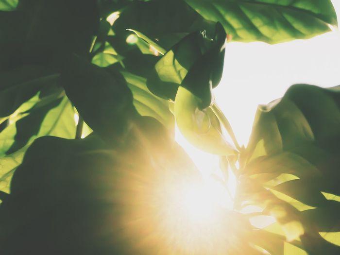 コーヒーの木 🌱