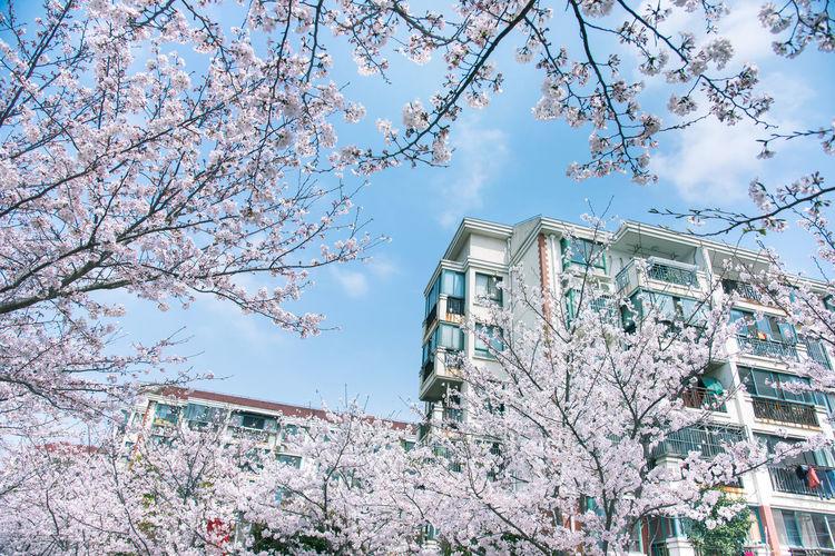 中国上海浦东新区高东路上的樱花