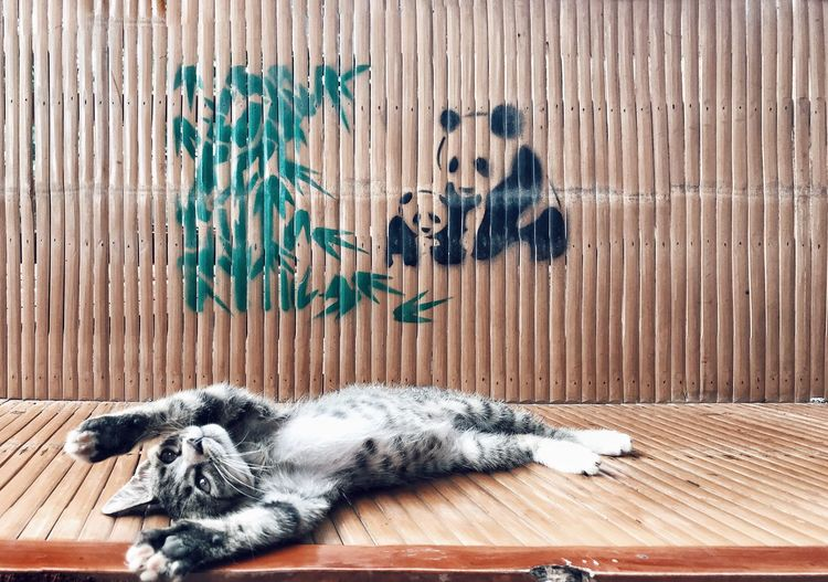 ShotOnIphone IPhoneography Meow Feet Paddle Paws Asian  Panda Vertical Symmetry Summer Kitten Stretching Cute Big Cat Panda And Bamboo Bamboo Mammal Animal Themes One Animal Animal Pets Domestic Domestic Animals No People Relaxation Sleeping Sunlight Lying Down Wood - Material