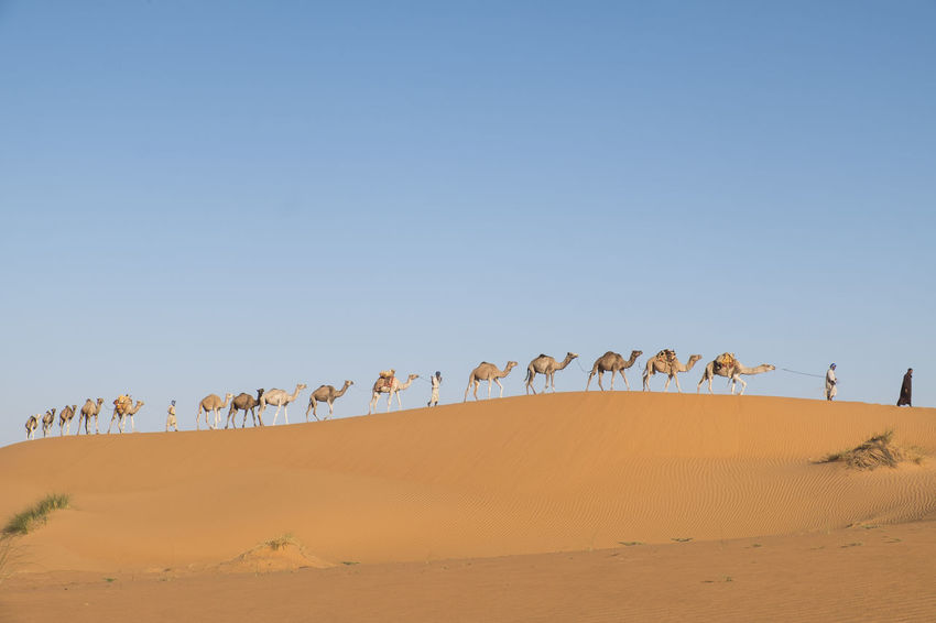 Camel Caravan is crossing the Sahara desert in soft afternoon light Sahara Desert Sand Dune Clear Blue Sky Afternoon Light Erg Ouarane Morocco Adventure Tourist Attraction  Travel Destination Sky Land Desert Environment Scenics - Nature Sand Landscape Beauty In Nature Group Of Animals Clear Sky Non-urban Scene Tranquil Scene Climate No People Outdoors Camel Caravan Arid Climate Nature Animal Tranquility Copy Space Animal Themes Herbivorous