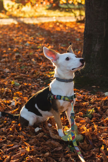 Animal Animal Themes Autumn Canine Change Dog Domestic Domestic Animals Field Land Leaf Leaves Looking Mammal Nature No People One Animal Outdoors Pets Plant Part Small Tree Vertebrate