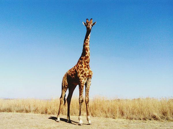 Africa Animal Wildlife Giraffe Outdoors Day Safari Animals Animal Themes Sky Clear Sky Nature The Week On EyeEm