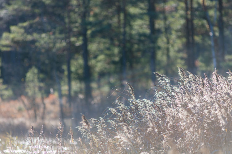 Autumn Backlight Beauty In Nature Day Forest Lakeside Nature No People Outdoors Reeds Sweden