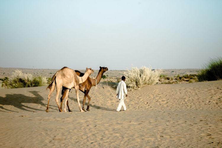 Man leading dromedaries in Thar desert India Man Animal Arid Climate Camel Climate Desert Domestic Animals Dromedary Landscape Outdoors Rajasthan Sand Thar Thar Desert Working Animal