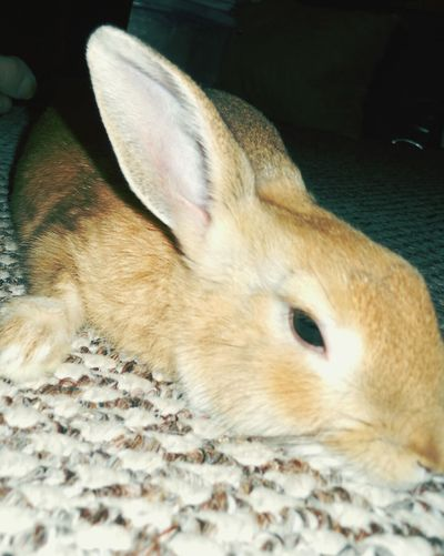 Cute Pets Adorable Animal_collection Bunny  Rabbits 🐇 Lazy Bunny EyeEm Animal Lover Cute Bunny
