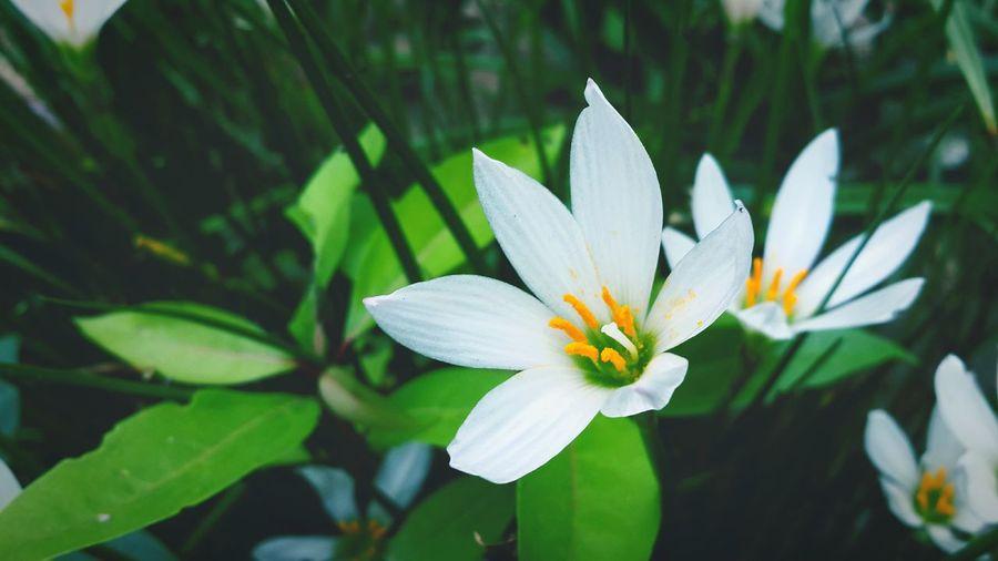 此季葱兰芳正好,更似秋望明婵辉。 Taking Photos Green Plant Flowers,Plants & Garden Enjoying Life Colour Of Life Green Nature