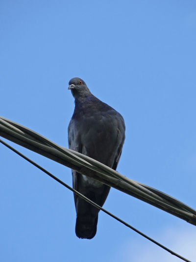 Pigeon perched on an electric wire Animal Themes Bird Bird On Electric Wi Clear Sky Columba Columba Livia Columbidae Danger Dangerous Electric Wires Electricity  Perching Pigeon Pigeon And Electric Wire Pigeon Perched On An Electric Wire