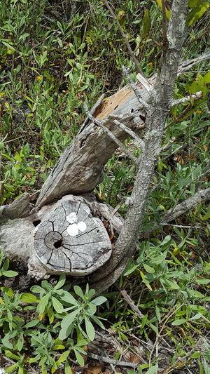 Shells on a stump Shells On A Stump Nature Photography Nature Walk Desoto National Park Bradenton FL Contrast