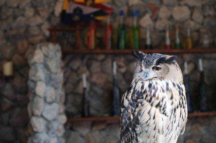 owl looking Fly Freedom Owl Animal EyeEm Selects EyeEm Nature Lover Forest Bird Tree Animal Themes