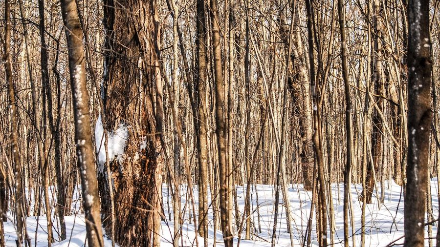 Walking in the woods Tree Trunk Tree Trunk No People Forest Plant Nature Cold Temperature Snow Day Winter Land Tranquility Outdoors Bare Tree Textured  Backgrounds Beauty In Nature Brown Dead Plant