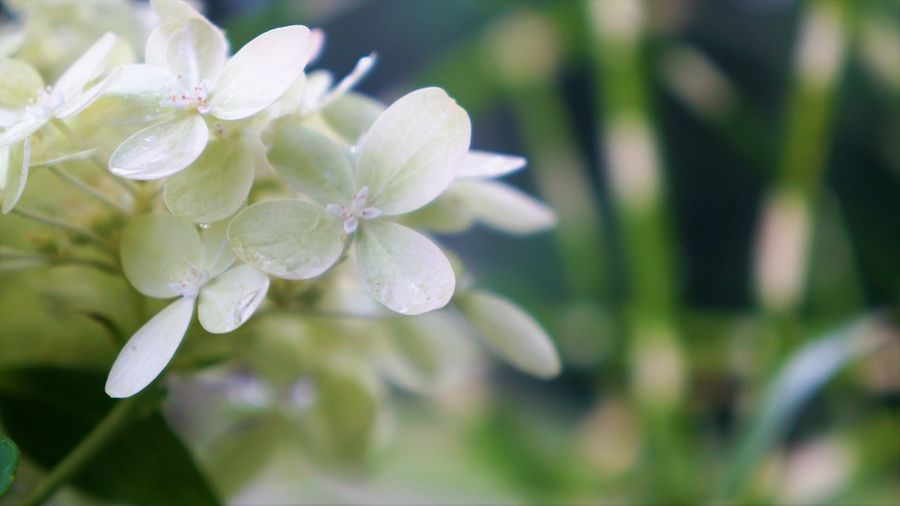 Hydrangea Macro Copy Space Hydrangea Beauty Beauty In Nature Close-up Day Dew Flower Flower Head Flowering Plant Focus On Foreground Fragility Freshness Growth Inflorescence Nature No People Outdoors Petal Plant Purity Purple Selective Focus Vulnerability  Water