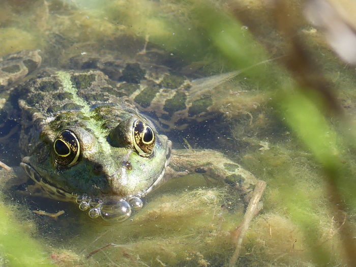 Close-up of frog swimming in sea