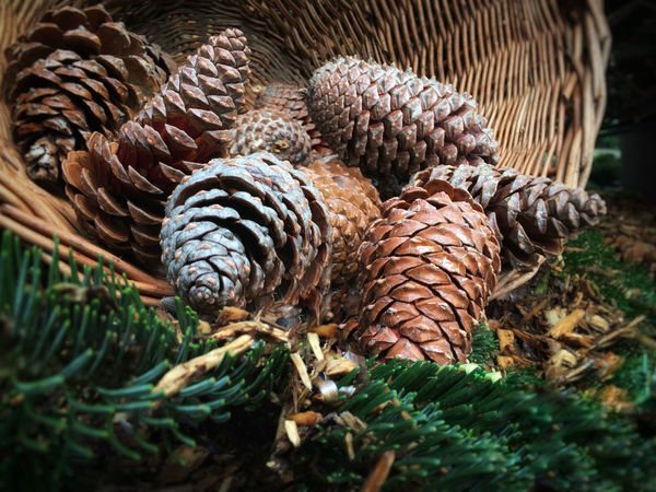 Pine cones in a basket Autumn Christmas Green Natural Plant Seed Wickerwork Winter Basket Braided Brown Bunch Christmas Decoration Close-up Cone Day Layers Nature No People Outdoors Pine Cone Pine Tree Pinecone Spruce