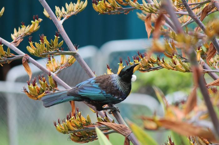 CU Tui feasting on Flax flowers - Urquharts Bay, Northland, NZ Northland New Zealand Tui Animal Themes Animal Wildlife Animals In The Wild Beauty In Nature Bird Branch Close-up Day Focus On Foreground Nature New Zealand Natural No People One Animal Outdoors Perching Tree