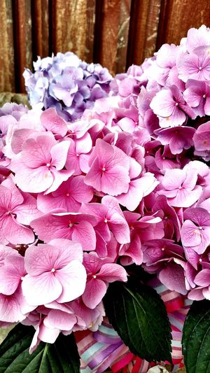 Hydranea Flowers Spring