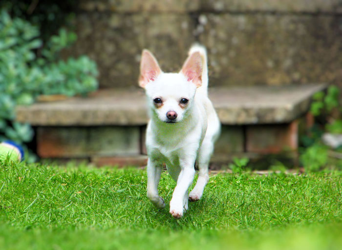 Animal Themes Chihuahua Chihuahua Love ♥ Chihuahualovers Day Dog Domestic Animals Full Length Grass Green Color Looking At Camera Mammal Nature No People One Animal Outdoors Pets Portrait Mexican Hunting Dog Pet Portraits
