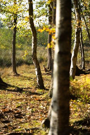 Nature Tree Sunlight Shadow Outdoors Day No People Tree Trunk Tranquility Growth Forest Autumn Branch Beauty In Nature Animal Themes Close-up Phesant Bird Grouse