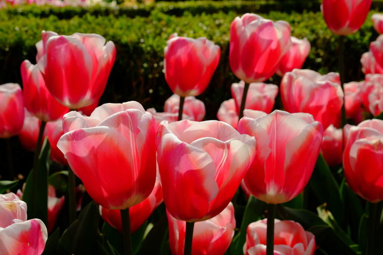 Floralia Brussels 2019 - Outdoors No People Nature Inflorescence Growth Flower Head Close-up Freshness Plant Petal Beauty In Nature Fragility Vulnerability  Flower Flowering Plant Tulip Tulips Spring Springtime Red White