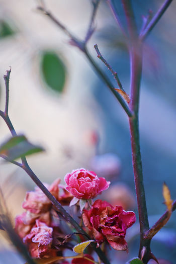 Frosty Frost Icy Ice Winter Garden Beautiful Plant Flower Flowering Plant Beauty In Nature Fragility Close-up Vulnerability  Growth Freshness Pink Color No People Nature Focus On Foreground Petal Selective Focus Day Outdoors Flower Head
