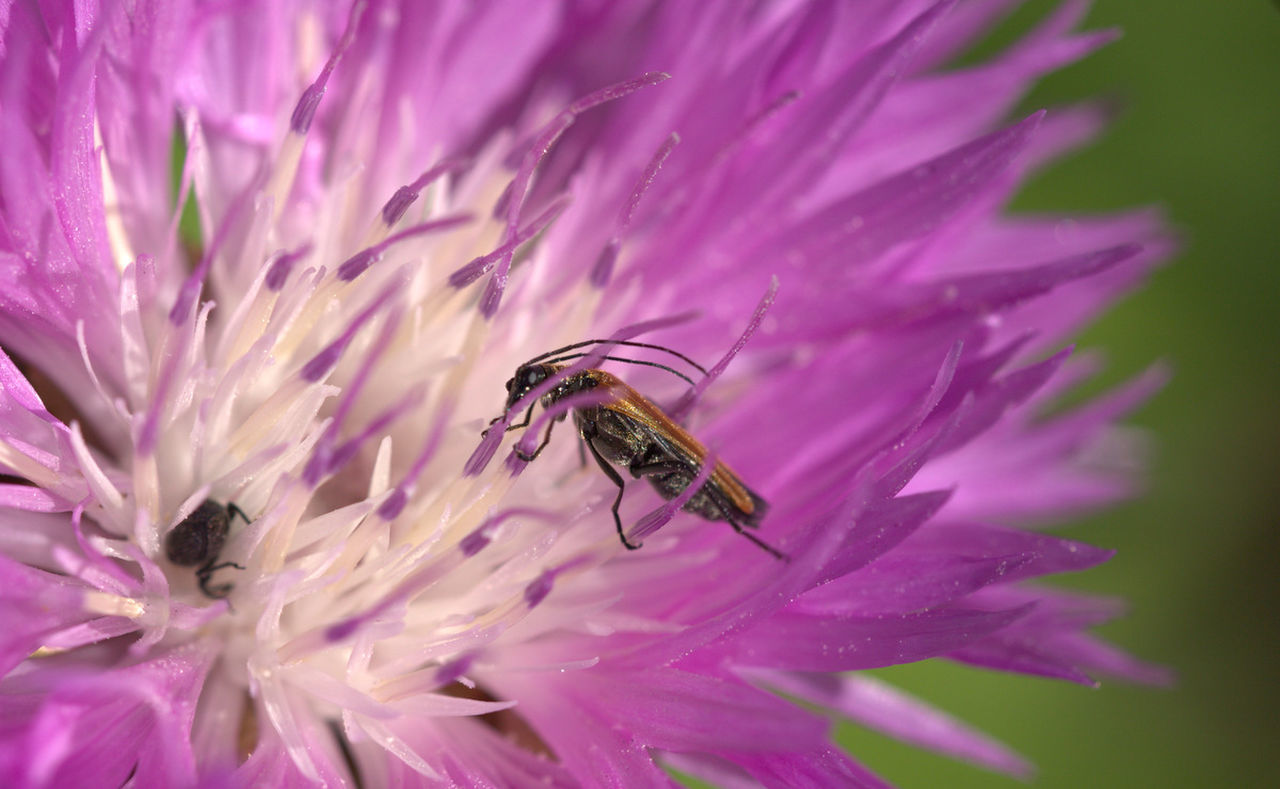 CLOSE-UP OF HONEY BEE ON PINK FLOWER