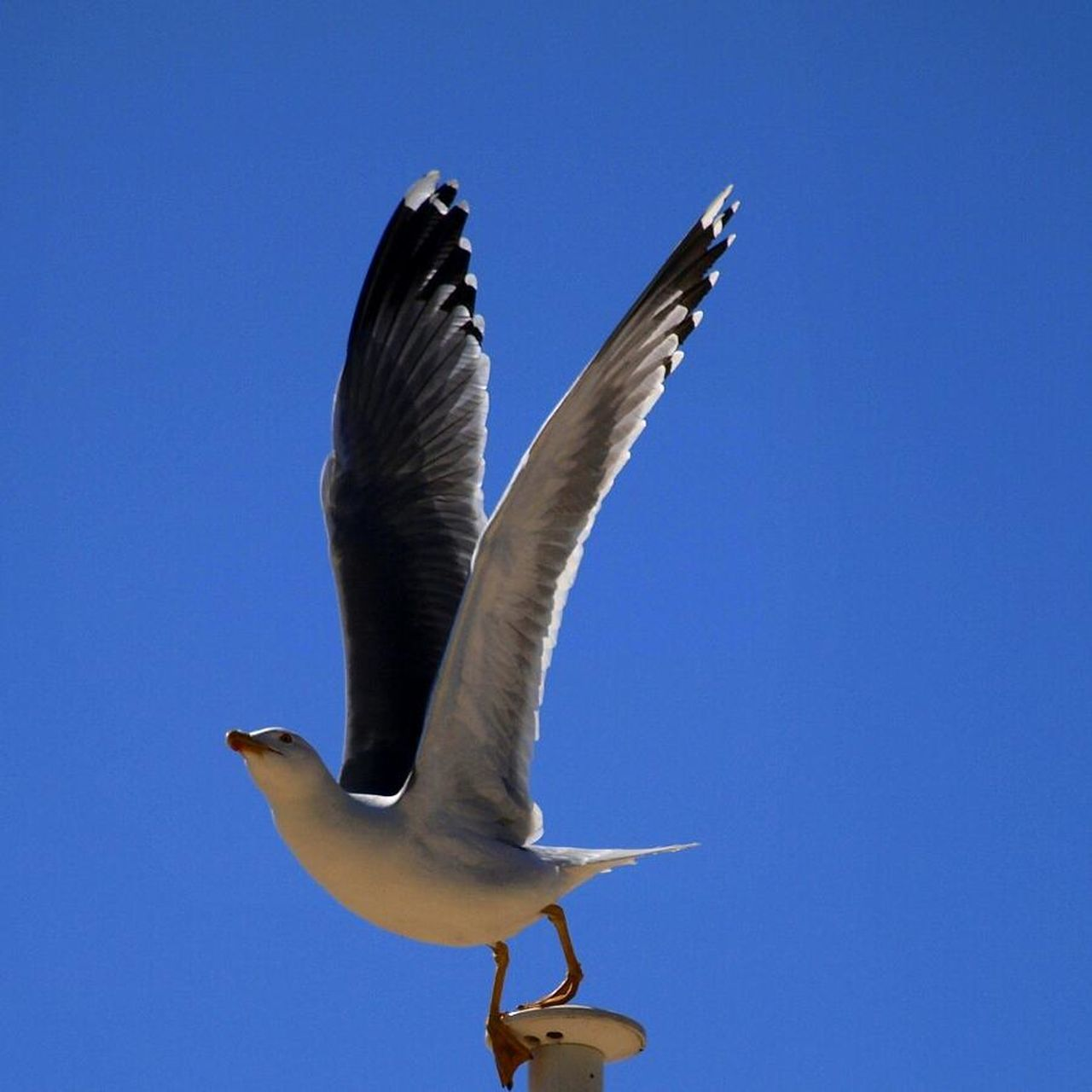 bird, animals in the wild, animal themes, animal wildlife, one animal, spread wings, flying, no people, clear sky, day, seagull, low angle view, blue, outdoors, nature, sky