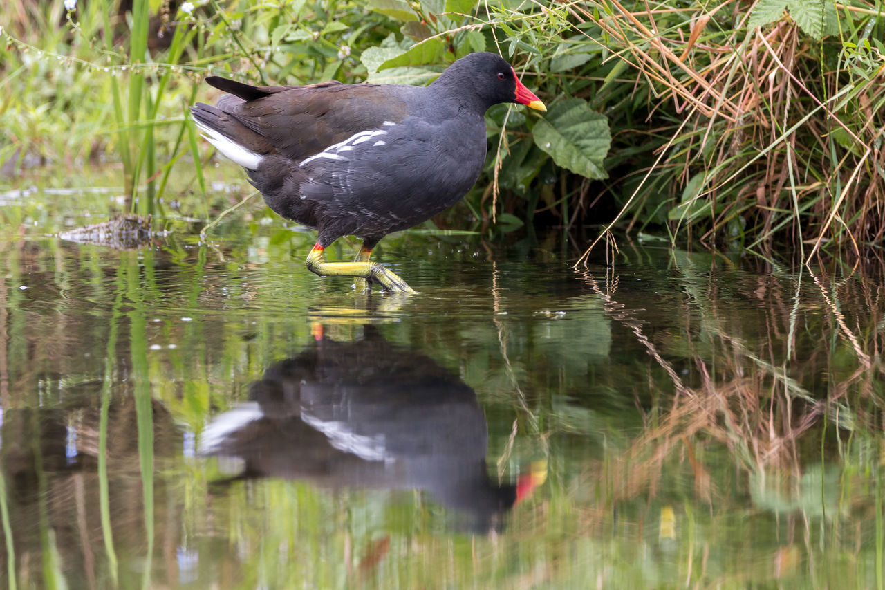 bird, animal themes, one animal, animals in the wild, water, reflection, lake, coot, nature, animal wildlife, waterfront, outdoors, day, no people, beauty in nature