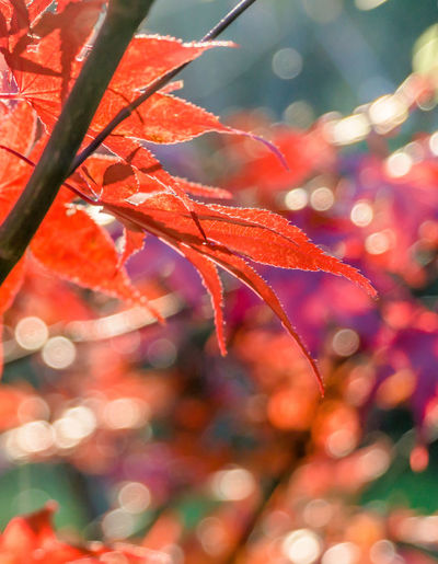 Japanese fan maple (acer sp.) against the setting autumn sun, strong colour and light effects Red Acer Acer Japonicum Acer Palmatum Acer Shirasawanum Autumn Beauty In Nature Branch Change Close-up Day Focus On Foreground Fragility Growth Leaf Maple Maple Leaf Nature No People Outdoors Red Tree Water