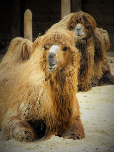 Bactrian camels relaxing on field