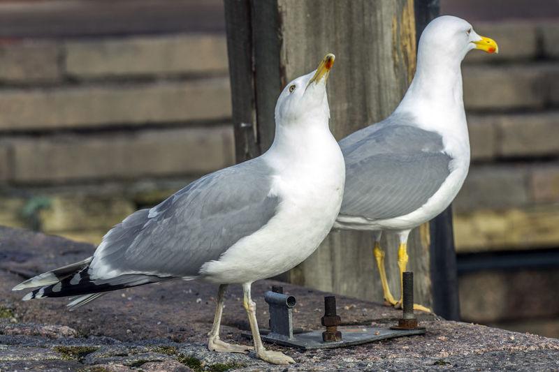 Seagulls On Pavement