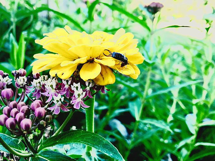 Flower Fragility Petal Yellow Insect Freshness Nature Beauty In Nature Growth Plant One Animal Animal Themes Flower Head Outdoors Animals In The Wild Day No People Leaf Close-up Focus On Foreground Earwig Earwiginsect Insect Photography Insects Collection