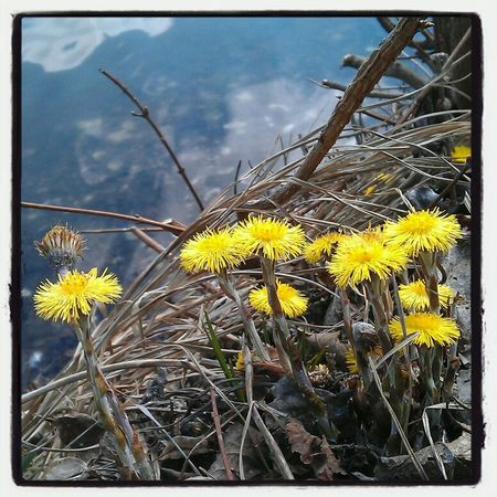 Frühling Huflattich Schwanenteich