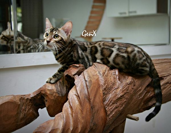Pet Photography  EyeEm Animal Lover Petstagram EyeEm Indonesia Cute Pets Bengal Cat Meow Animal Pets Cats