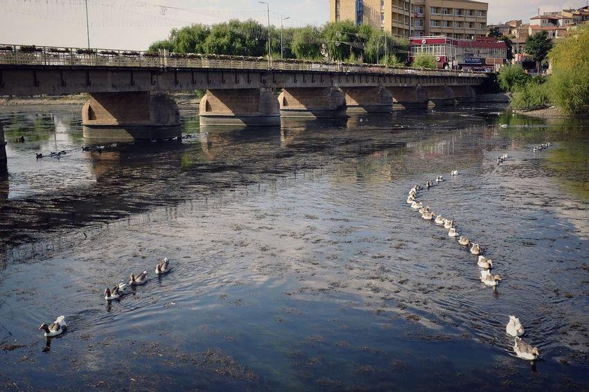 Ducks in a row Animal Themes Bird Wildlife Water River City Fujifilm_xseries Fujifilm Turkey