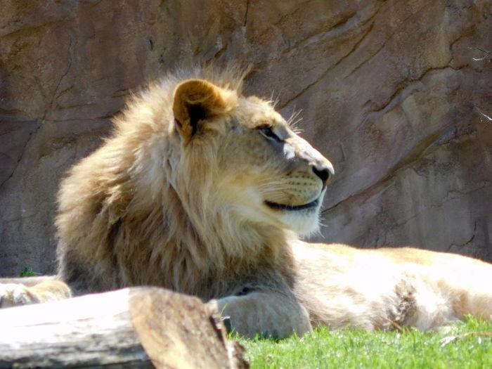 EyeEmNewHere King Lion Prisoner Zoo Animal Themes Animal Wildlife Animals In The Wild Carnivore Jungle Love Animal Majestic One Animal Rock - Object Terrible Zoo Animals  Zoophotography