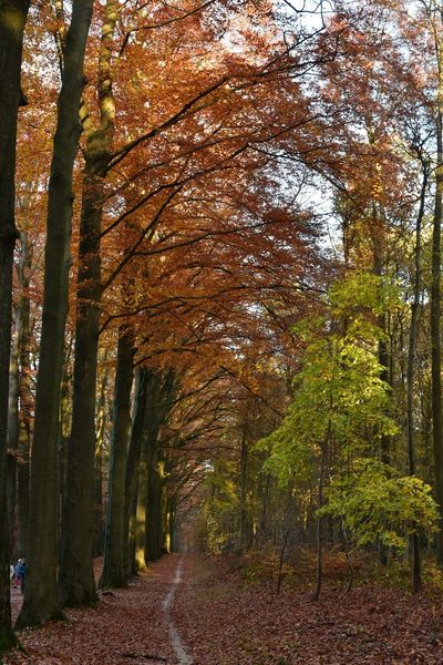 In A Row Lush Foliage Beech Forest Sonian Forest Autumn colors Tree Plant Growth Nature Beauty In Nature Land No People Tranquility Autumn Tree Trunk Sunlight Forest Day Trunk Change Outdoors Scenics - Nature Tranquil Scene Branch Park